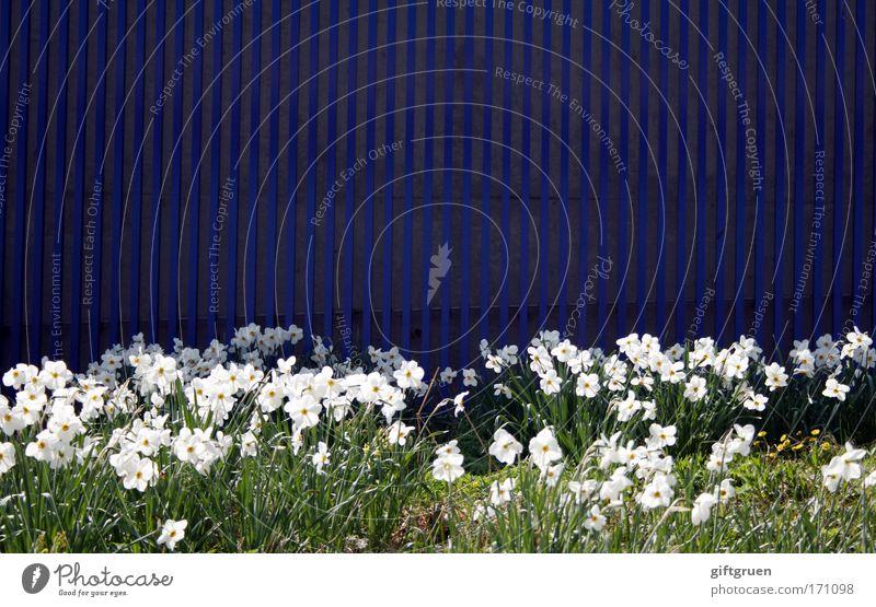 wallflowers weiß Blume grün blau Pflanze Sommer Wand Blüte Frühling Garten Mauer Design Wachstum Dekoration & Verzierung Sauberkeit Streifen