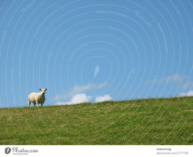 ein.schaf Natur schön Himmel weiß grün blau ruhig Wolken Tier Ferne Wiese Gefühle Gras Glück Zufriedenheit Stimmung