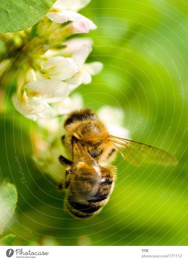 As busy as a bee! grün Pflanze Sommer Blume Tier gelb Umwelt Wärme Blüte fliegen Aktion Flügel trinken Schönes Wetter Blühend Biene