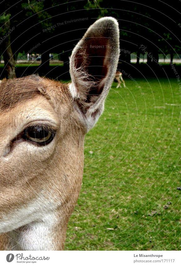 Disney's Bambi III Natur weiß grün Baum Tier Auge Wiese Umwelt Gras braun Deutschland Ausflug ästhetisch Macht Wildtier Tiergesicht