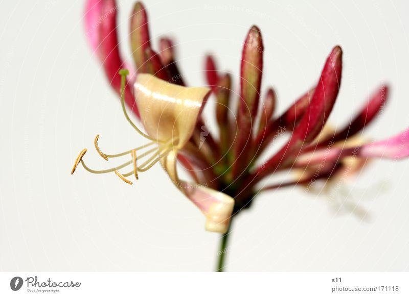zartes Pink im Sonnenlicht II Natur weiß schön Pflanze Sommer Blume Blüte Park hell rosa elegant glänzend frisch außergewöhnlich ästhetisch Schönes Wetter