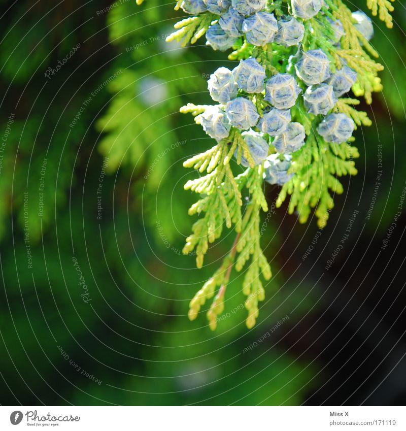 Hecke Farbfoto Außenaufnahme Detailaufnahme Makroaufnahme Menschenleer Schwache Tiefenschärfe Umwelt Natur Pflanze Baum Sträucher Park Wachstum stachelig grün