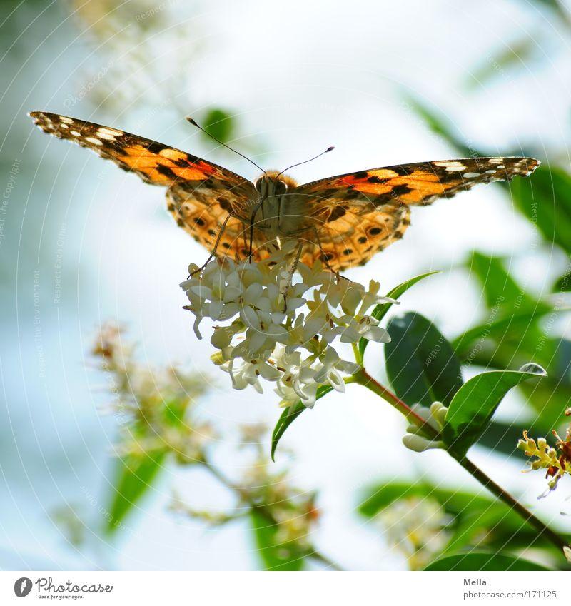 Saugschlürfender Flugrüssler Umwelt Natur Pflanze Tier Frühling Sommer Sträucher Blüte Grünpflanze Wildpflanze Park Wildtier Schmetterling Flügel Distelfalter 1