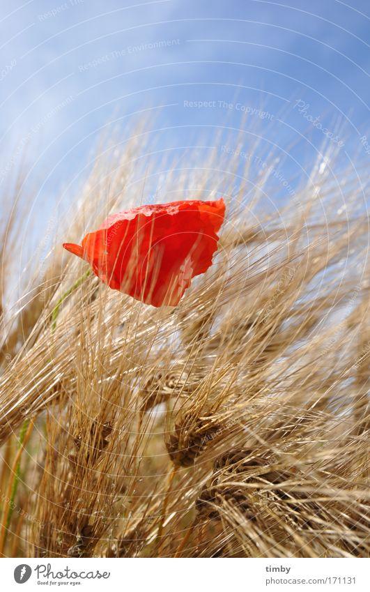 Gerstenfeld mit Mohn II Natur rot Sommer natürlich Blühend Mohn Gerste