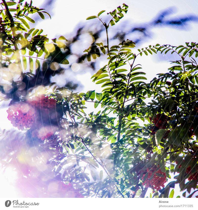 lichter Baum Pflanze Sonnenlicht Sommer Herbst Vogelbeerbaum Vogelbeeren Zweige u. Äste Blatt Frucht Beeren Beerenfruchtstand Garten glänzend leuchten träumen