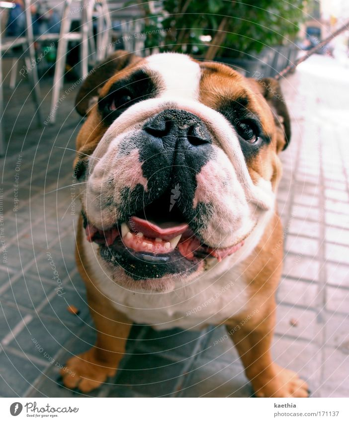 dogs just wanna have fuuhuun... weiß Freude ruhig Tier Erholung Hund Kopf Glück braun Fröhlichkeit beobachten Fell Freundlichkeit entdecken dick Appetit & Hunger