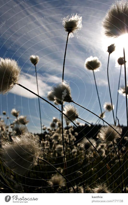 puschelgestöber Umwelt Natur Pflanze Himmel Sonne Sommer Schönes Wetter Sträucher Wildpflanze wollpflanze Wiese Bewegung Blühend leuchten ästhetisch