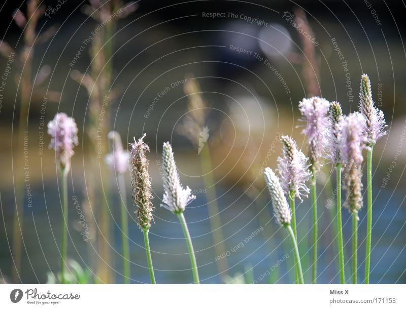 Spitzwegerich Farbfoto Außenaufnahme Nahaufnahme Menschenleer Schwache Tiefenschärfe Gesundheit Umwelt Natur Pflanze Gras Blüte Wildpflanze Park Wiese Feld