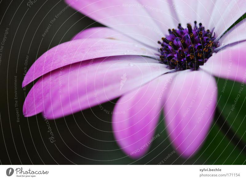 Plümschn II Natur schön weiß Blume grün Pflanze Freude Leben Blüte Regen rosa Umwelt Wassertropfen weich violett natürlich