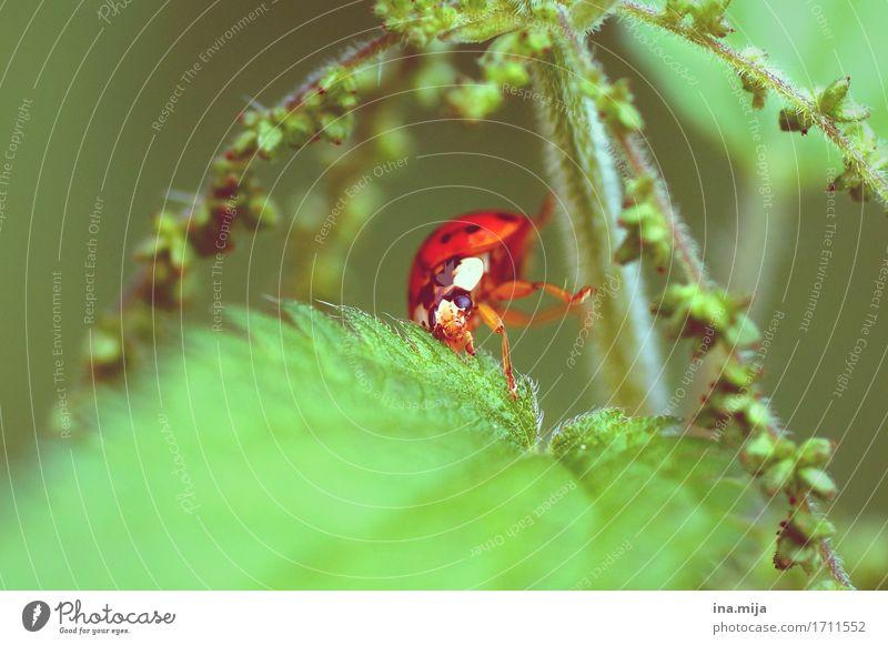 HOPPALA! Umwelt Natur Frühling Sommer Pflanze Brennnessel Tier Käfer Tiergesicht Flügel Makroaufnahme Marienkäfer 1 Krankheit grün rot Glücksbringer