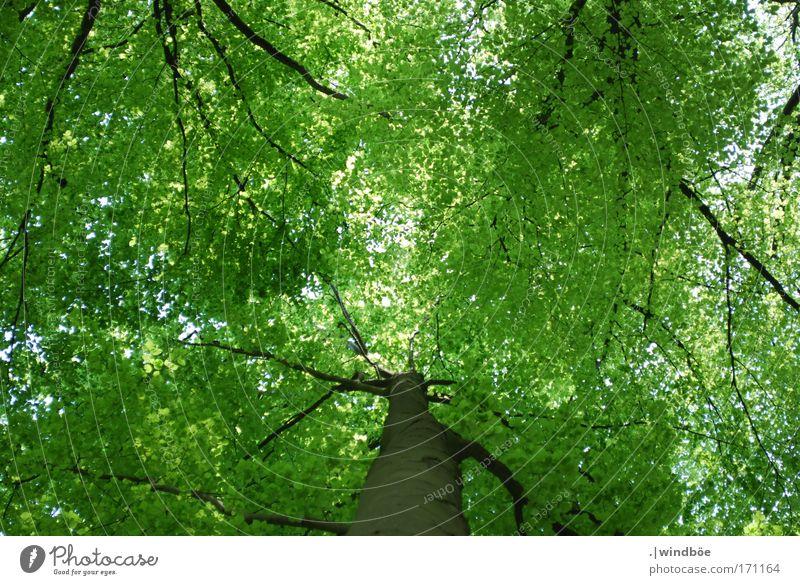 Blätterdach Farbfoto Außenaufnahme Menschenleer Tag Froschperspektive Blick nach oben Umwelt Natur Luft Frühling Schönes Wetter Baum Blatt Grünpflanze Wald