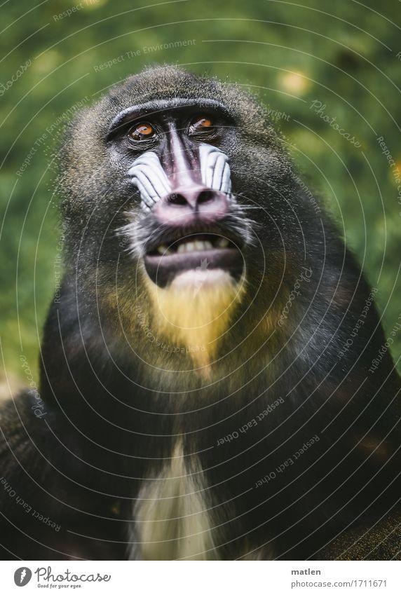 Maskenträger Tier Tiergesicht Fell 1 sportlich braun gelb grün rosa weiß Affen Zähne zeigen Gras Farbfoto Gedeckte Farben Außenaufnahme Nahaufnahme Menschenleer