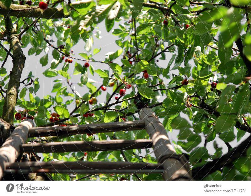 cherry cherry ladder Farbfoto Außenaufnahme Tag Schatten Kontrast Froschperspektive Blick nach oben Glück Leben Wohlgefühl Zufriedenheit Garten Umwelt Natur