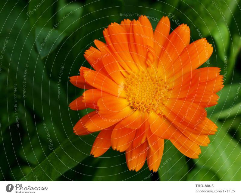 Orange Sommer Sonne Garten Gartenarbeit Umwelt Natur Pflanze Blume Blatt Blüte Ringelblume Park Blühend Duft verblüht natürlich mehrfarbig grün Freude Romantik