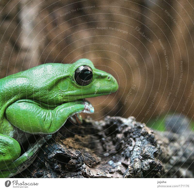 Knallfrosch grün Freude ruhig Einsamkeit Tier Glück Kraft verrückt sitzen ästhetisch Gelassenheit Langeweile Frosch klug Stolz Vorsicht