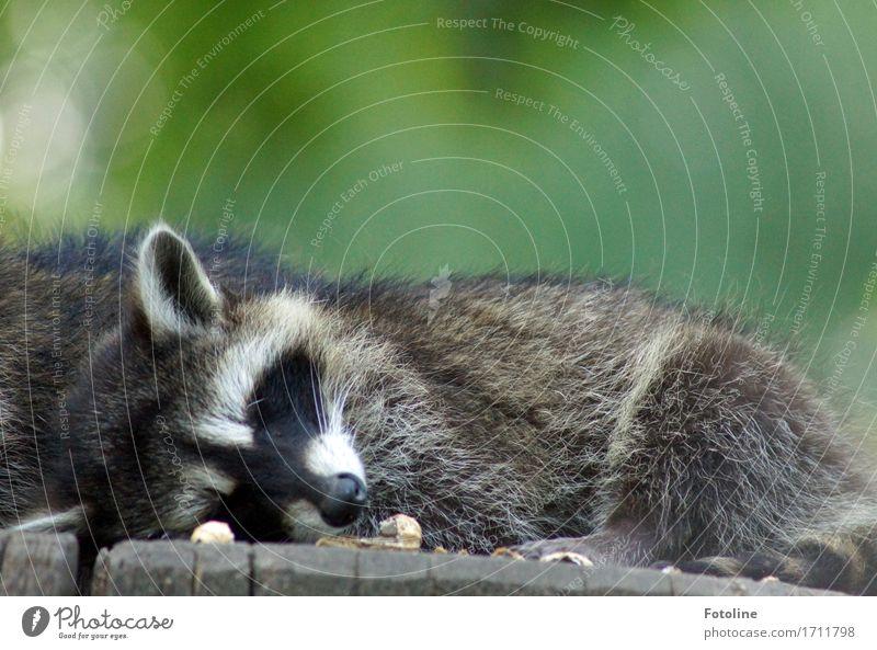 Gute Nacht! Umwelt Natur Pflanze Tier Sommer Baum Tiergesicht Fell 1 hell nah natürlich wild weich grau grün Müdigkeit schlafen Ohr Schnauze Waschbär Baumstamm