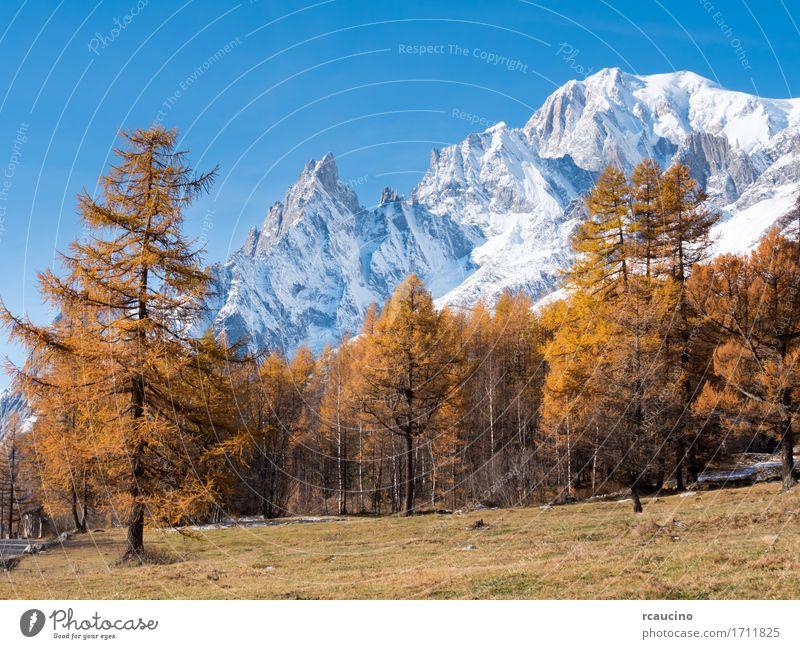 Lärchen und die schneebedeckten Gipfel des Mont Blanc im Herbst Schnee Berge u. Gebirge Natur Landschaft Pflanze Himmel Alpen Gletscher blau braun gelb weiß