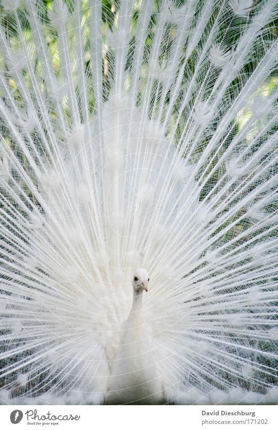Reize eines Pfaus II Natur weiß schön Tier Kopf Vogel offen Wildtier groß elegant Feder Flügel einzigartig Tiergesicht Zoo Schnabel