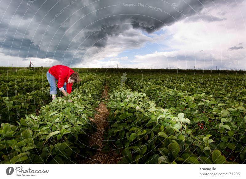 Erdbeerfeld II Mensch Himmel Natur Pflanze Sommer Umwelt Landschaft Feld Klima Schönes Wetter Unwetter Erdbeeren Klimawandel schlechtes Wetter Gewitterwolken Nutzpflanze