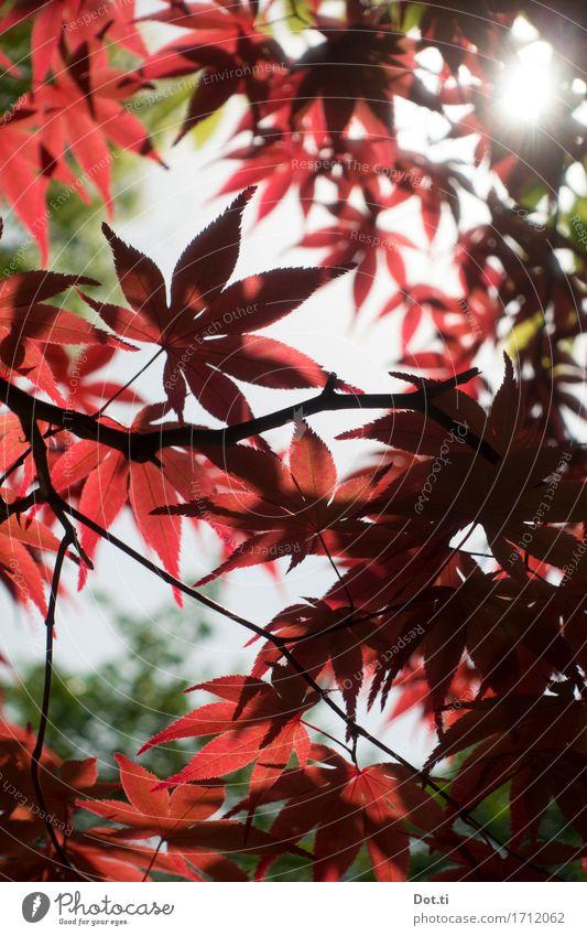 Ohayô Nihon! Natur Pflanze Sonne Sonnenlicht Baum Blatt Garten Park Japan Asien rot ruhig Idylle Japanischer Ahorn Farbfoto Außenaufnahme Detailaufnahme