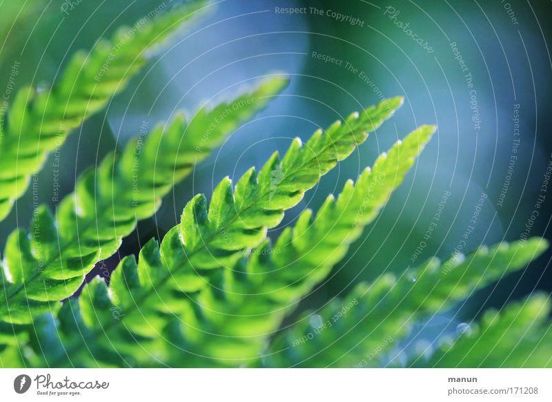 la fougère I Natur blau grün schön Pflanze Sommer ruhig Frühling hell glänzend außergewöhnlich natürlich frisch ästhetisch leuchten Sträucher