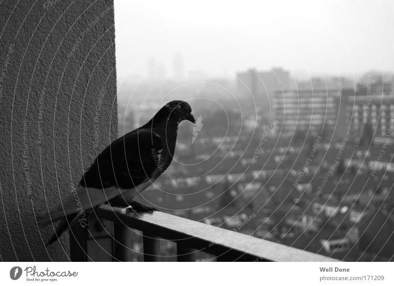 Ratten der Lüfte Stadt ruhig Ferne Vogel Hochhaus Taube Stadtrand Tier