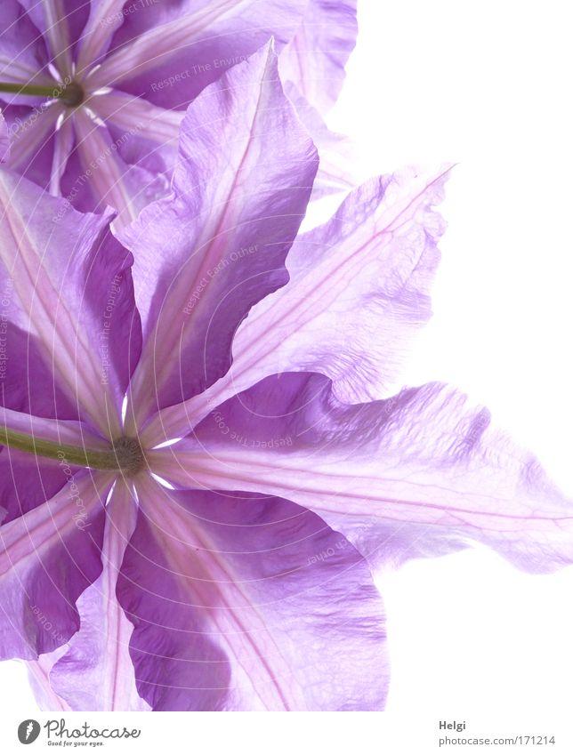 zarte Blüten II Natur schön Blume grün Pflanze Frühling elegant Umwelt frisch ästhetisch Wachstum violett Vergänglichkeit natürlich