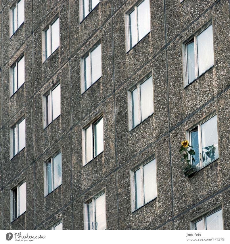 Die Sonnenblume am Fenster Blume Haus Hochhaus Fassade Häusliches Leben einzigartig Optimismus