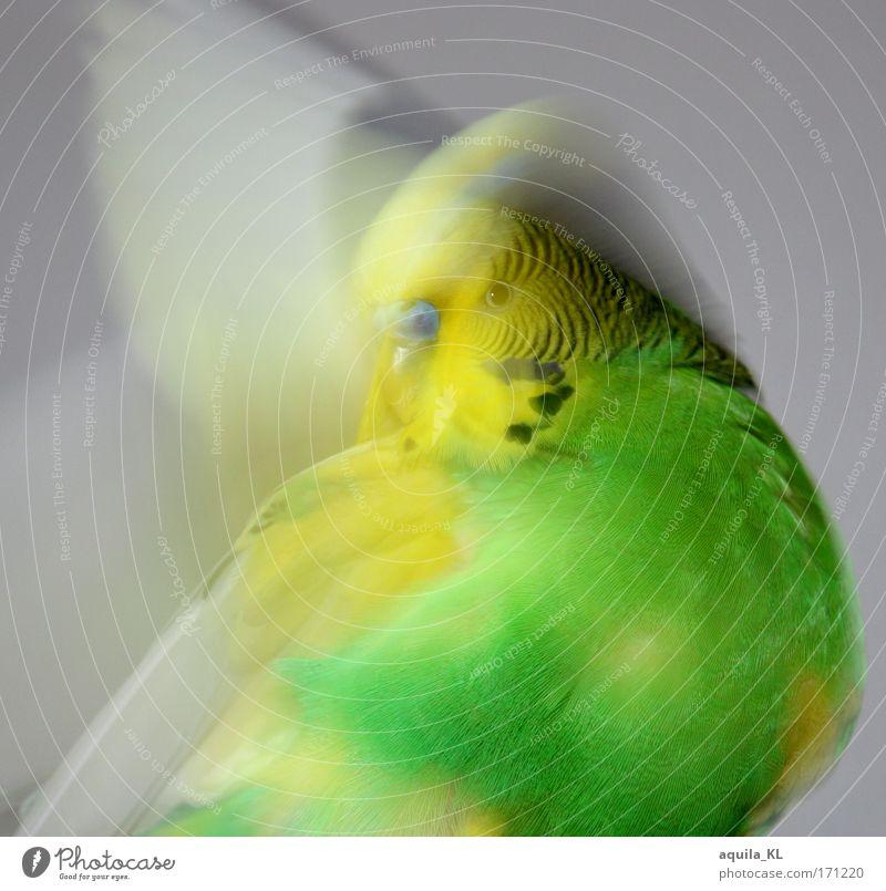 Putze Putze Farbfoto Blick in die Kamera Tier Haustier Wildtier Flügel Reinigen Geschwindigkeit Wellensittich grün gelb Australien