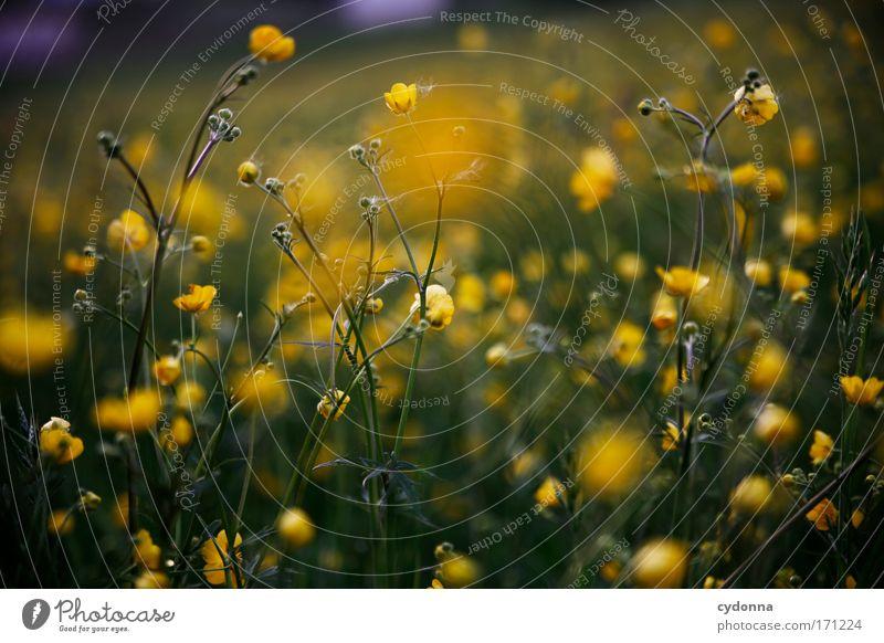 Butterblumen Natur schön Blume Pflanze gelb Farbe Leben Wiese Gefühle Blüte Frühling Freiheit Glück träumen Traurigkeit elegant