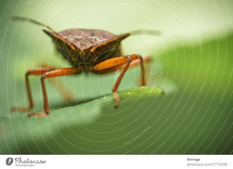 Verwanzte Wanze Natur Pflanze Tier Blatt Park Wiese Feld Wald Wildtier Käfer Tiergesicht Flügel 1 krabbeln Insekt Farbfoto Gedeckte Farben mehrfarbig