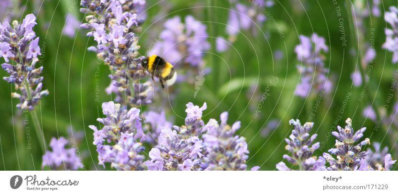 bumblebee. Farbfoto Außenaufnahme Tag Tierporträt Sommer Arbeit & Erwerbstätigkeit Natur Landschaft Pflanze Frühling Blume Gras Blüte Wiese Wildtier Flügel Duft