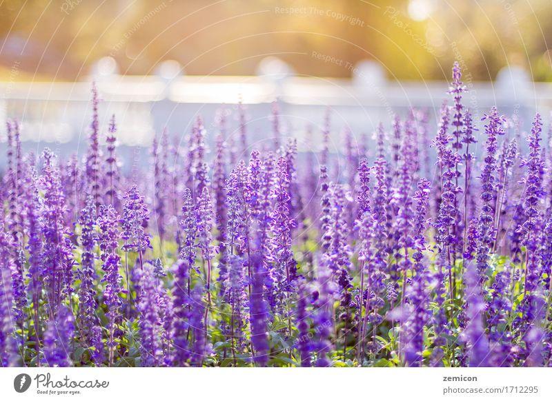 Weichzeichnung von blauem Salvia Flower Field und durch den Wind verwischt Natur Pflanze Sommer Farbe schön grün Blume Erholung Blatt Umwelt Blüte Wiese