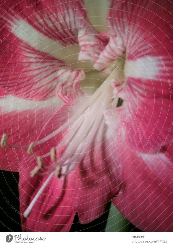 amaryllis schön Blume rot