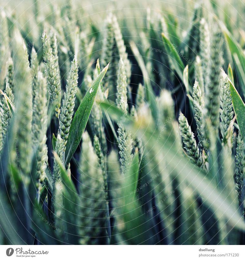 Massenveranstaltung Natur grün Pflanze Ernährung Feld Gesundheit Umwelt Wachstum Getreide Getreidefeld Nutzpflanze Getreideernte