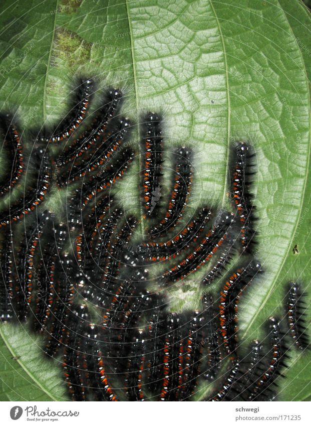 Wuseln mit Ordnung Natur Pflanze Blatt Tier Beine Wachstum Tiergruppe Insekt Schmetterling Urwald Anhäufung krabbeln Haufen Raupe