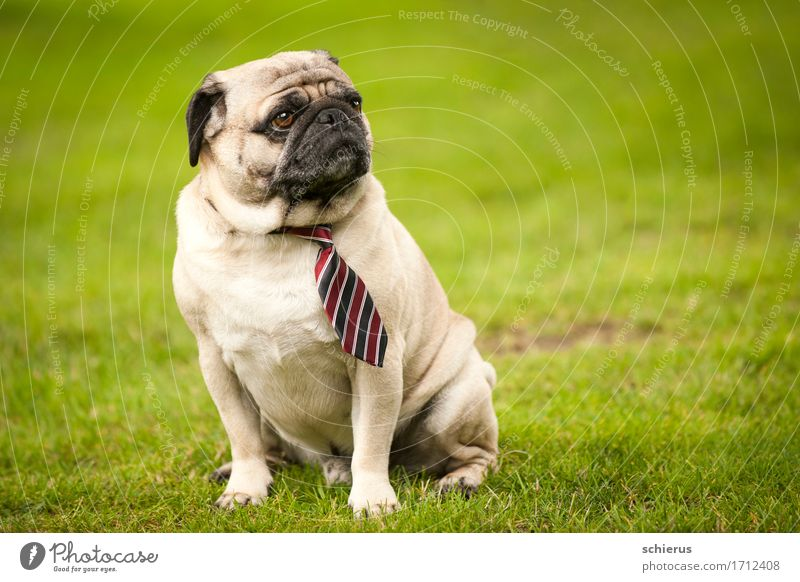 Mops mit Schlips Hochzeit Haustier Hund 1 Tier beobachten Blick sitzen Coolness trendy grün Gelassenheit geduldig ruhig Weisheit Langeweile Verachtung
