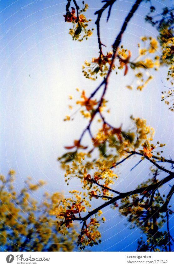golden summer. Natur blau schön Baum Pflanze Sommer gelb Erholung Umwelt Frühling träumen Park Wachstum leuchten Dekoration & Verzierung Netzwerk