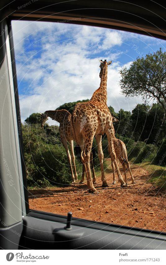 Blick aus dem Auto in Afrika Natur Tier PKW Landschaft gehen hoch fahren Tiergruppe Wildtier Fressen Wegkreuzung Giraffe 3 Tierfamilie
