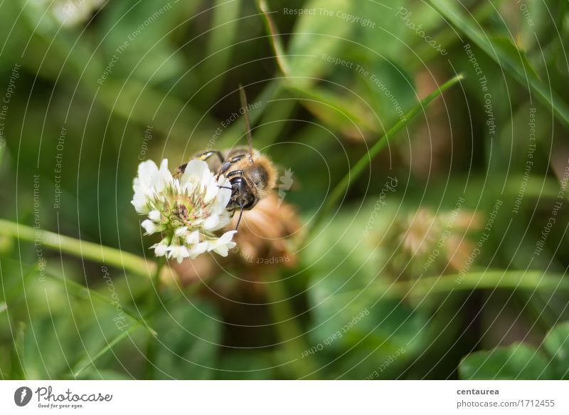 Bestäuber Umwelt Natur Landschaft Pflanze Tier Erde Sommer Schönes Wetter Gras Blüte Wildpflanze Garten Wiese Nutztier Wildtier Biene Flügel 1