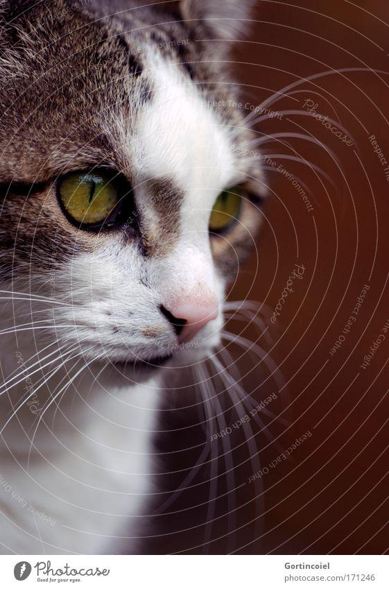In these eyes schön weiß grün schwarz Auge Tier gelb Katze braun elegant gold ästhetisch Ohr weich Tiergesicht einzigartig