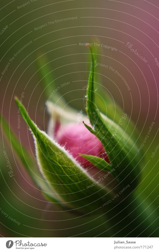 Growing up Blume Pflanze Frühling rosa Rose Unschärfe