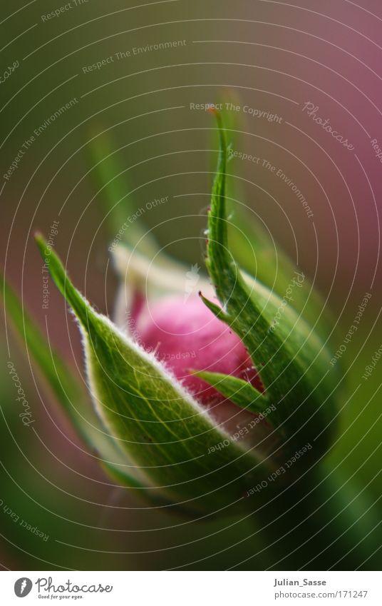Growing up Farbfoto Außenaufnahme Detailaufnahme Makroaufnahme Tag Unschärfe Schwache Tiefenschärfe Zentralperspektive Pflanze Frühling Blume Rose rosa