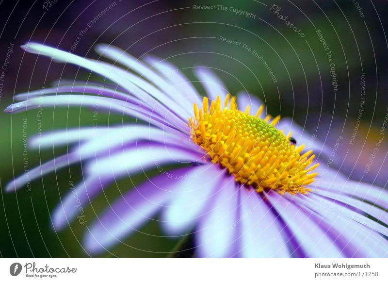 Komplementär Natur Blume grün blau Pflanze Sommer gelb Duft Beet