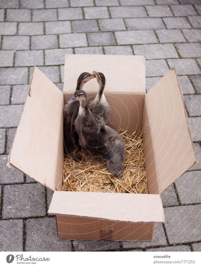 Quak quak quak... Freude Tier Papier Glück Angst Fröhlichkeit gefährlich Tiergruppe Flügel Stress Karton Ente Todesangst Haustier Kiste Schnabel