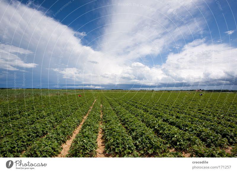 Erdbeerfeld III Natur Himmel Pflanze Sommer Wolken Landschaft Feld Wind Umwelt ästhetisch Klima außergewöhnlich Schönes Wetter Erdbeeren Grünpflanze Beeren