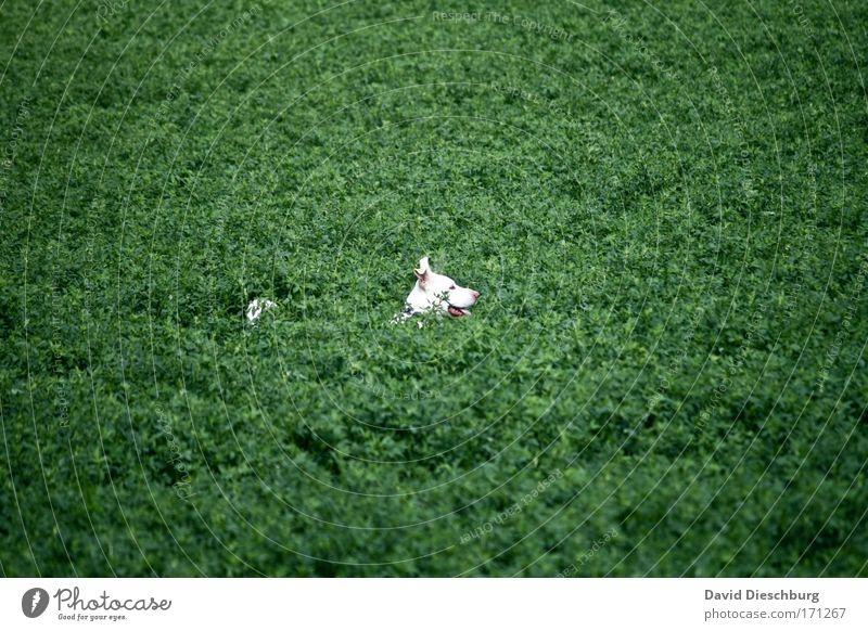 Wo ist das Stöckchen? Hund Natur weiß grün Pflanze Tier Landschaft Spielen Kopf Feld Sträucher Suche Tiergesicht verstecken Haustier Grünpflanze