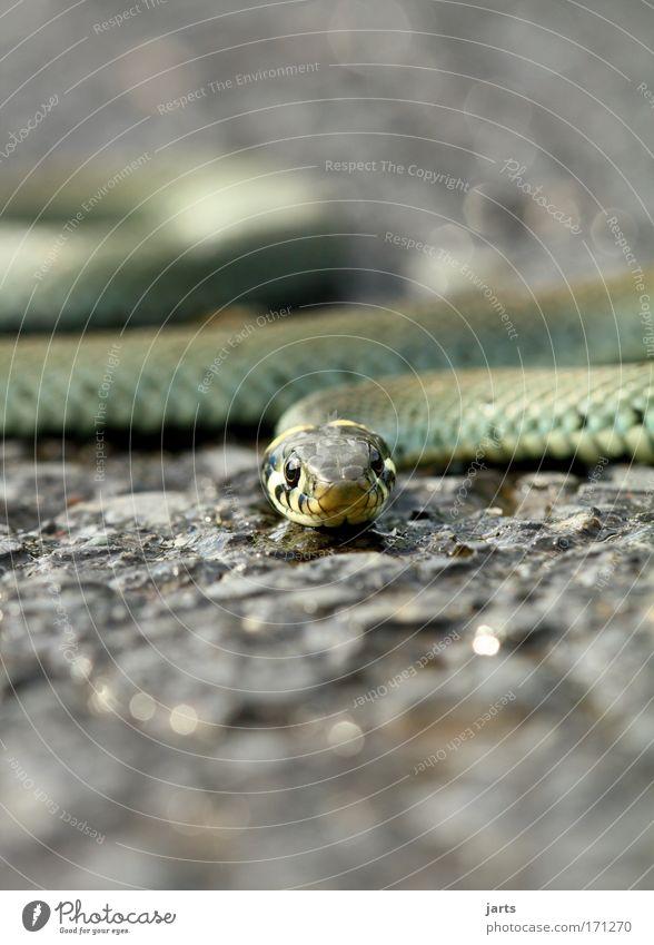 snap Natur Tier warten ästhetisch wild Wildtier Respekt exotisch Aggression Schlange Natter Ringelnatter