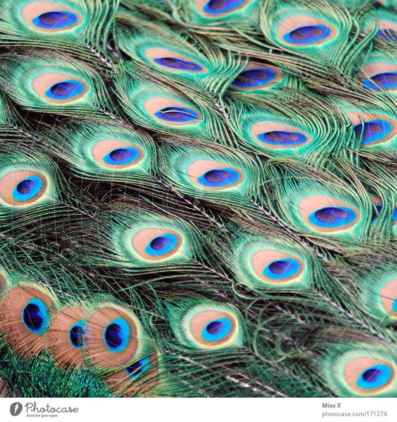 Schmuck Natur schön Farbe Tier Vogel glänzend elegant Feder Flügel Zoo exotisch Stolz eitel Federvieh Pfau Brunft