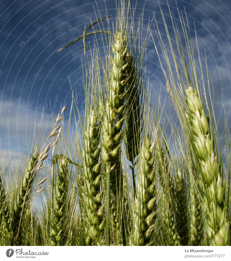 der fänger im roggen Himmel Natur blau grün Wolken ruhig Umwelt Landschaft Deutschland Getreide Wind Feld Angst frei gefährlich ästhetisch